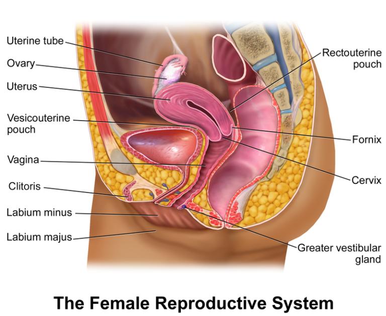 как устроены женские половые органы фото